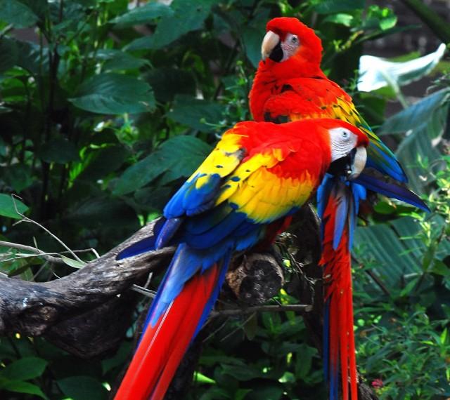 bau-bau-papagali-ara